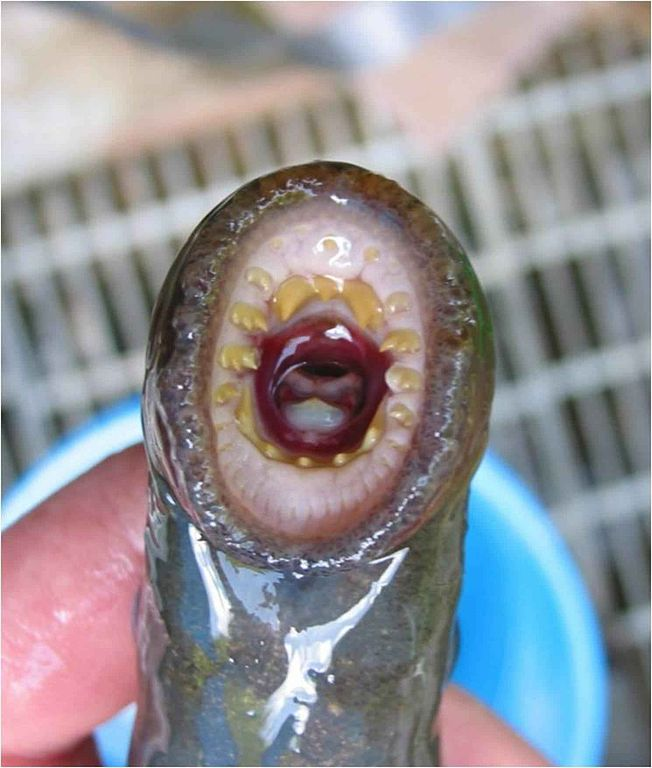 the mouth of a lamprey
