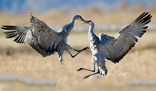 sandhill cranes engaging in dance