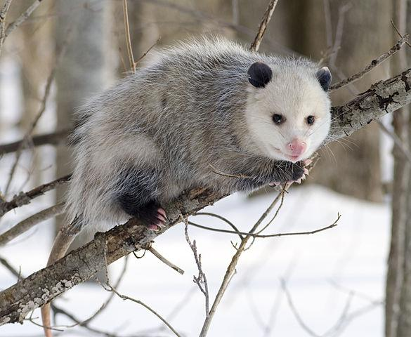 Virginia Opossum Credit Cody Pope