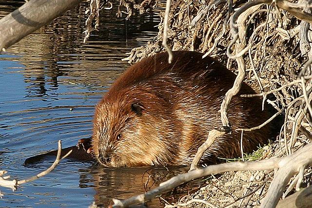 Beaver credit US NPS