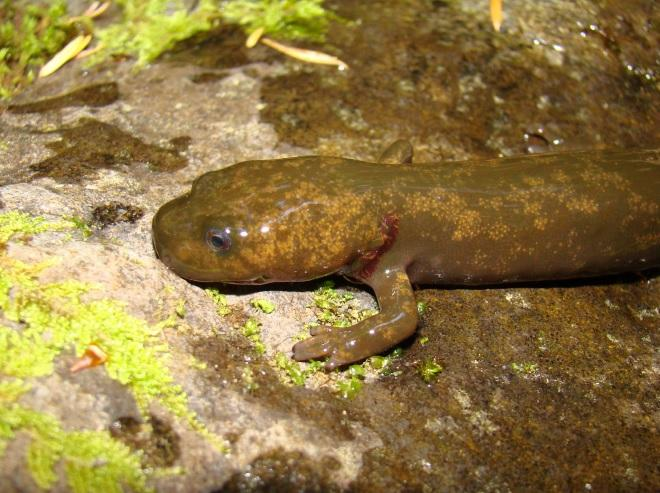 Cope's Giant Salamander by USGS