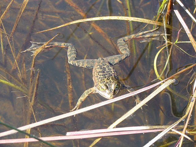 Oregon spotted frog