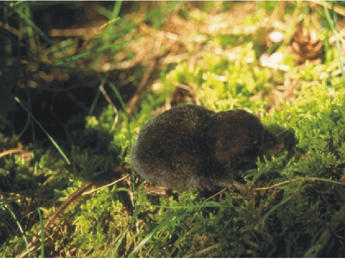 Pacific Water Shrew
