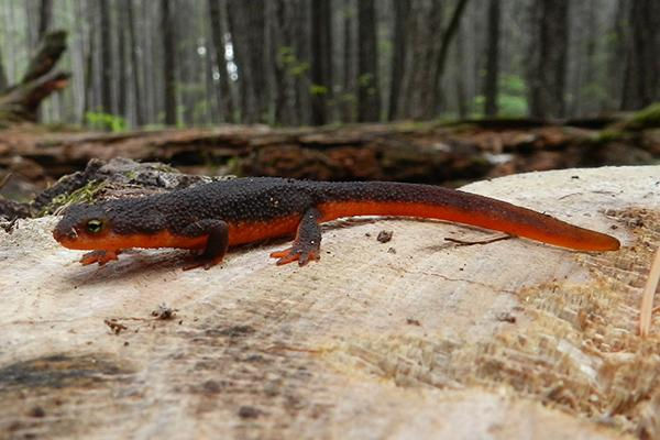 Rough Skinned Newt by DSHil