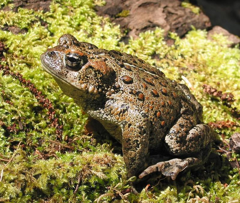 Western Toad credit Ivan Phillipsen, Oregon State University