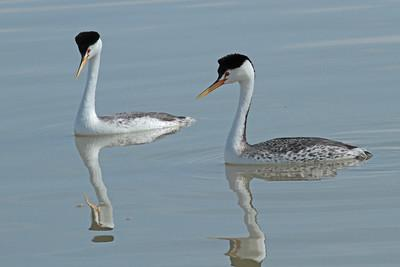Clarks' Grebes