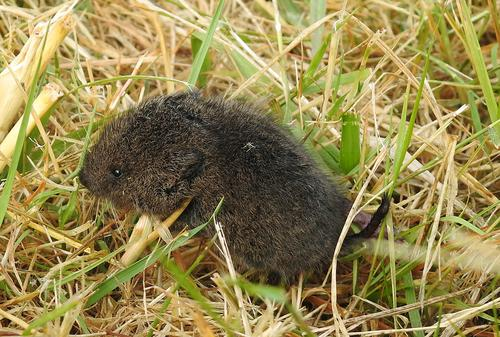 Creeping Vole