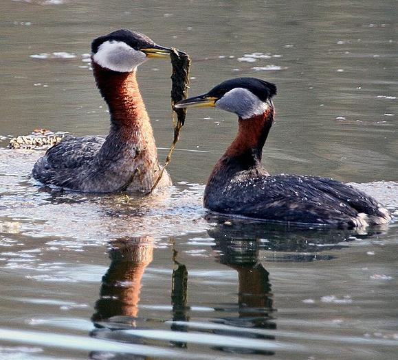 Red-necked grebes feeding