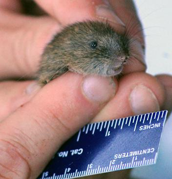 white-footed vole