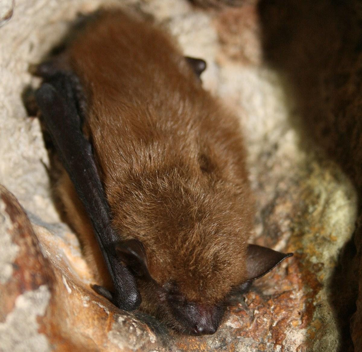 Big Brown Bat at rest