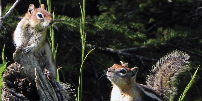 Golden-mantled ground squirrels