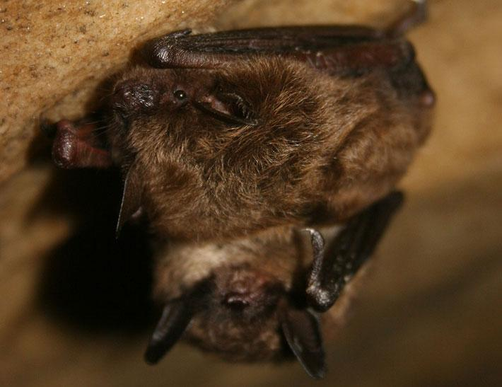 Little Brown Myotis