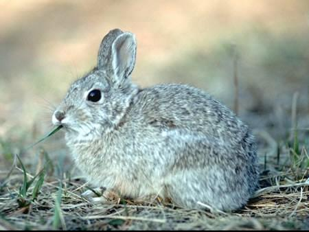 Mountain cottontail