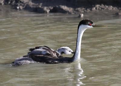 Western Grebe carrying a baby on its back