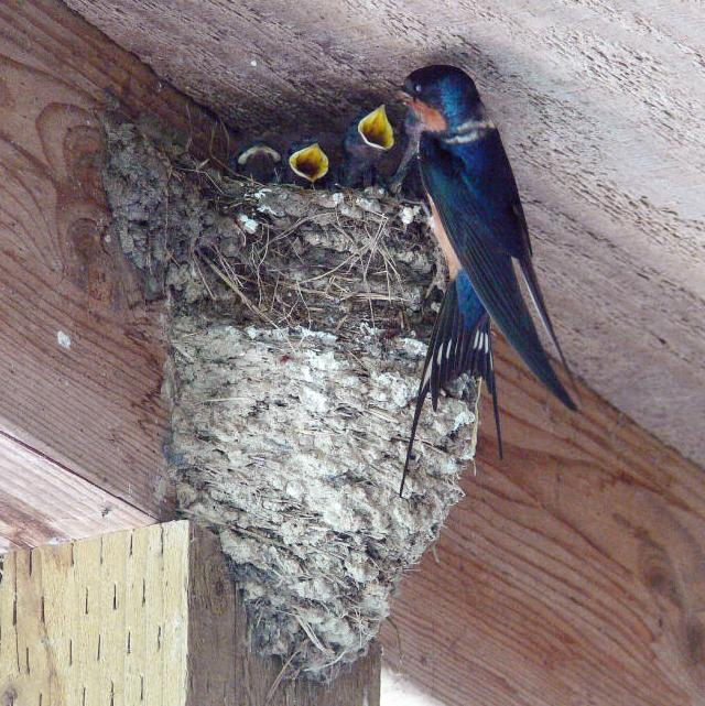 barn swallow and nest