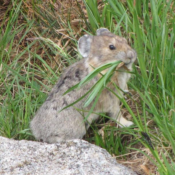American Pika Chris Kennedy USFWS