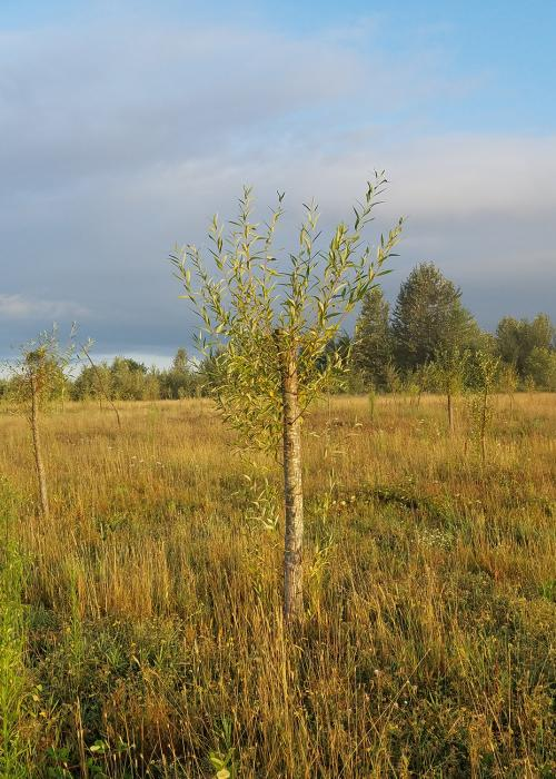 cottonwood and willow pole plantings at Steigerwald